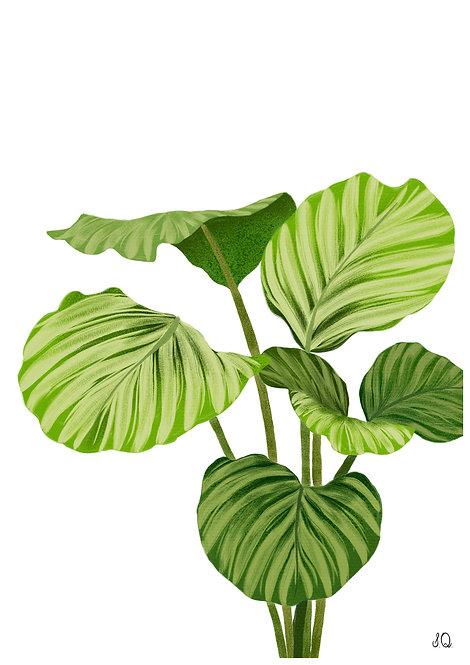 Ilustração Calathea Orbifolia