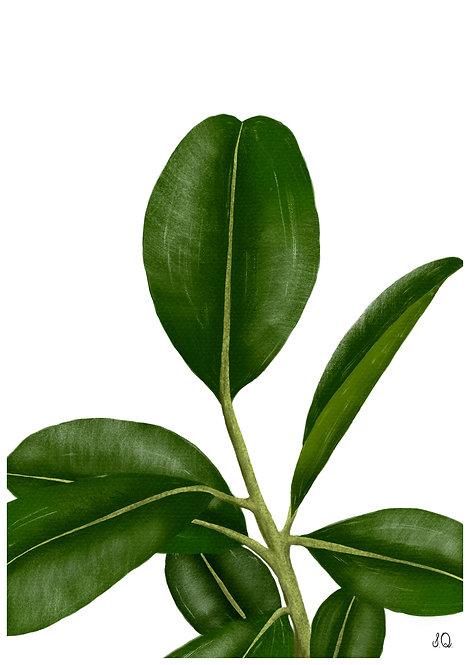 Ilustração Ficus Elástica