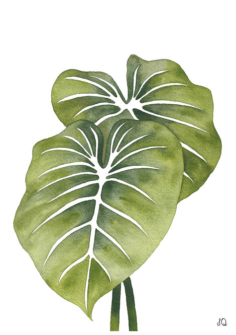 Ilustração Philodendron Gloriosum