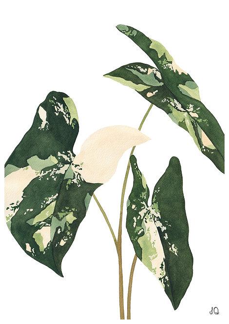 Ilustração Syngonium Variegata