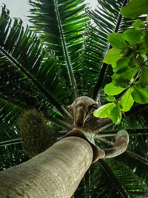 Fotografia Palmeira Imperial I