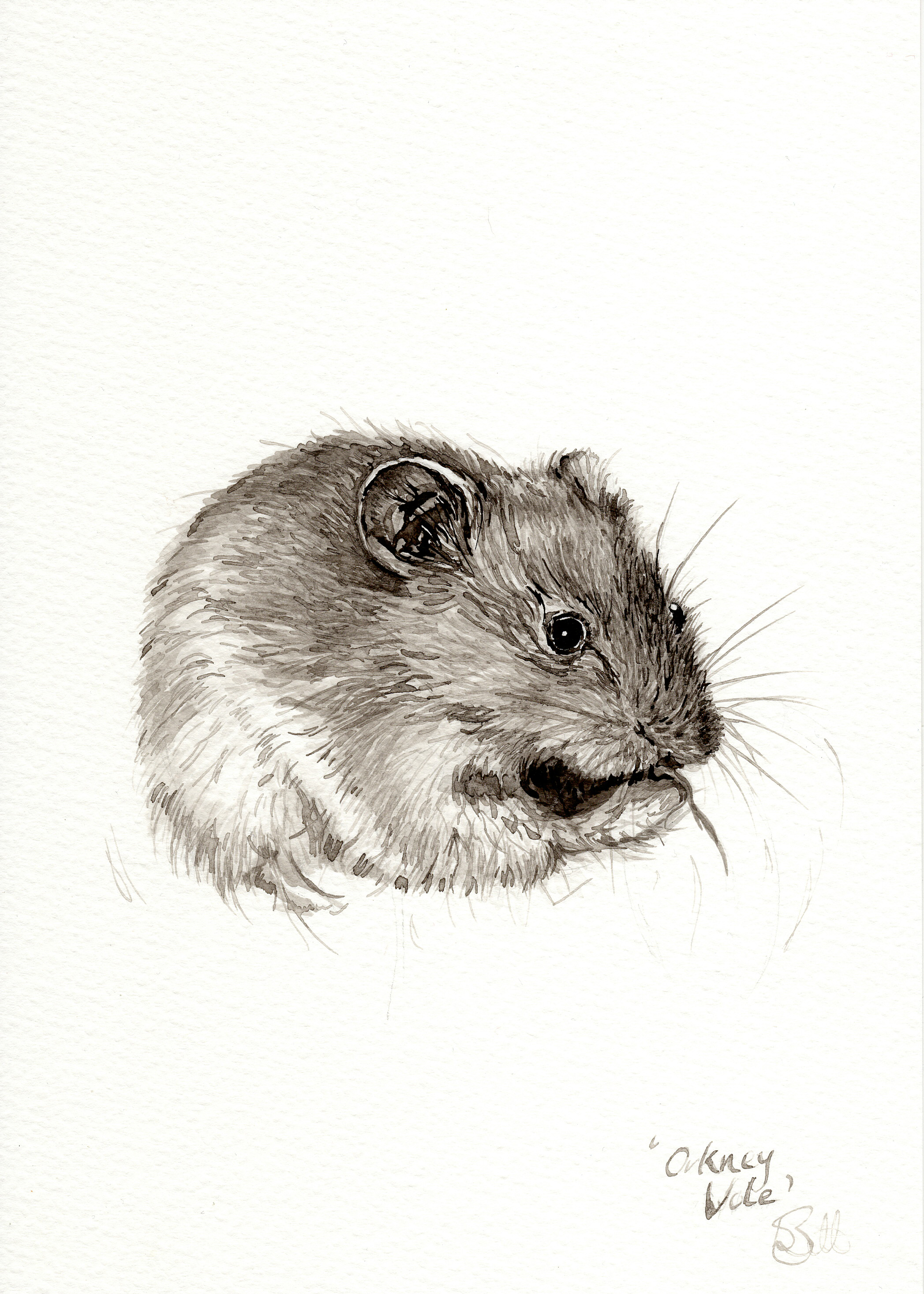 """Orkney Vole"""