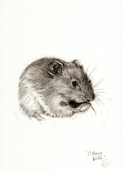 """""""Orkney Vole"""""""
