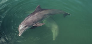 Dolphins swimming in Passage Key in Florida.