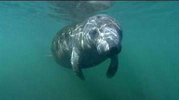 Manatee in Florida waters.