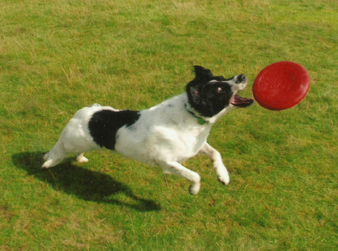 Patch the Jack Russel
