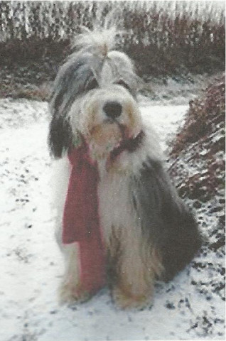Tess the Bearded Collie
