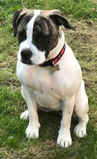 Nelly the Staffie