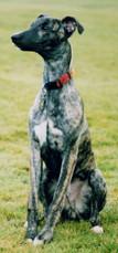 Harvey the Greyhound