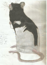 Soccy the Rat