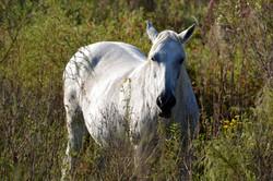 White Cracker Horse