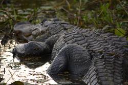 LaChua Trail Alligator