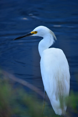 LaChua's Egret