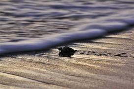 Baby sea turtle release playa escameca.j