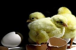 Pollito-de-gallina.jpg