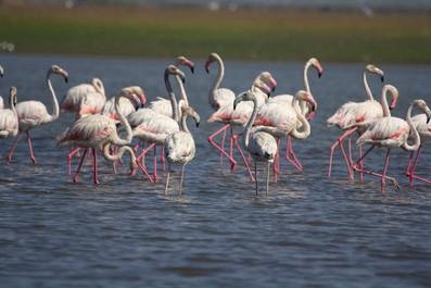 Flamingos at Bhigwan