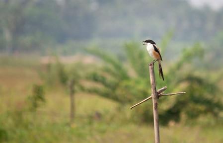 Long tail shrike