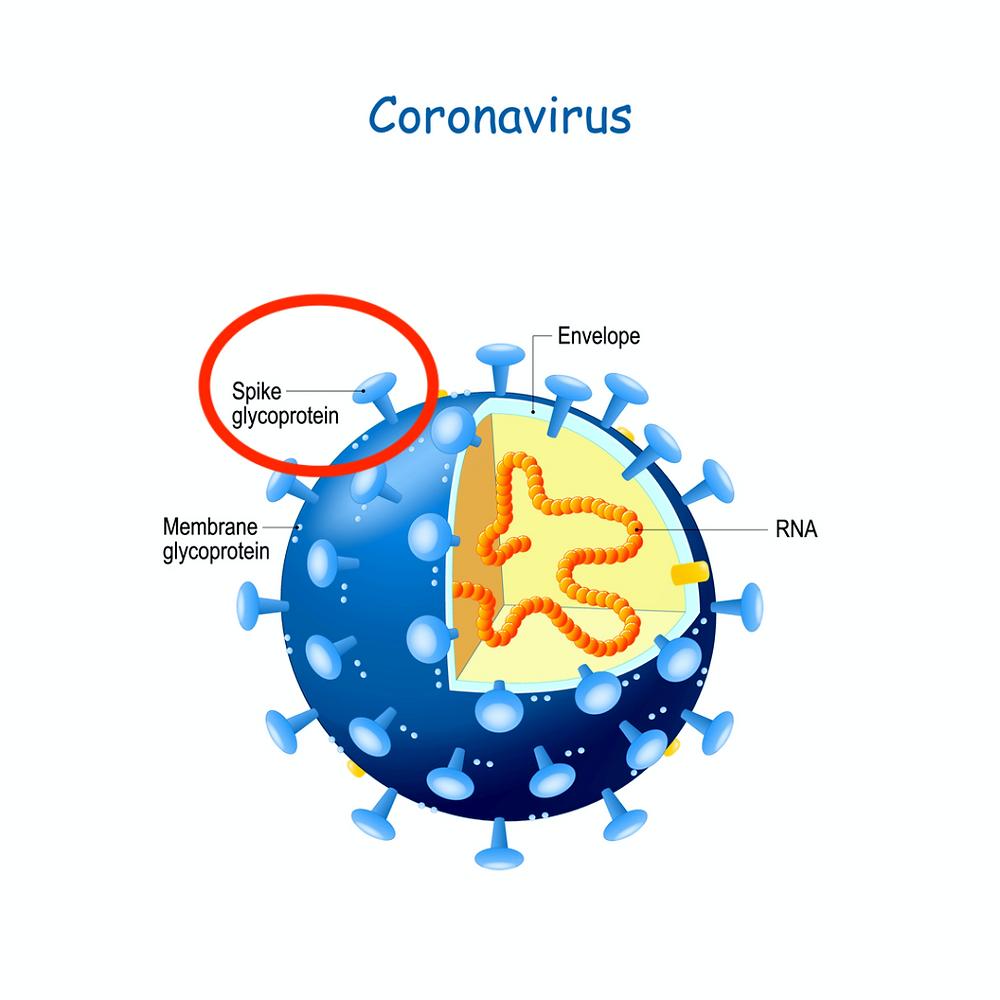 Coronavirus structure (Shutterstock)