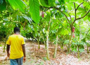 My Top Ten Ghana Scenes: Lush green cocoa forest, Ashanti Region (Photo: Kwei Quartey)