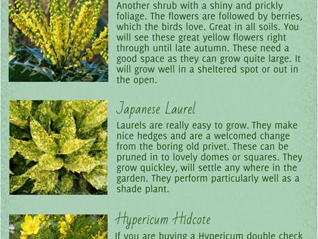 Evergreen yellow shrubs