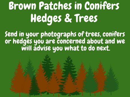Brown Conifers, Hedges & Trees