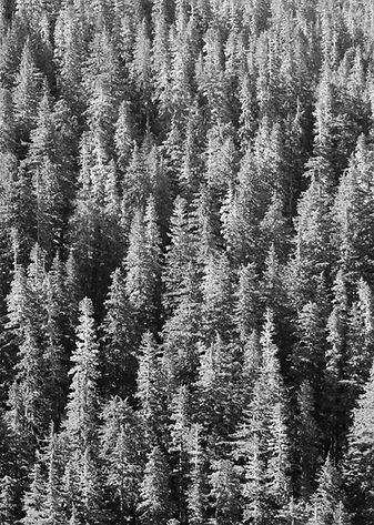 trees pine bw shutterstock_65080915.jpg