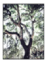 Cork Tree, Portugal