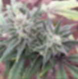 hemp_flower.jpg