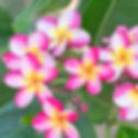 plumeria pink.jpg