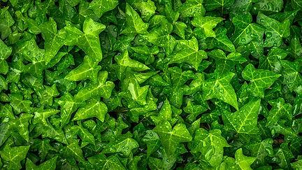 ivy_leaves_drops_122988_3840x2160.jpg