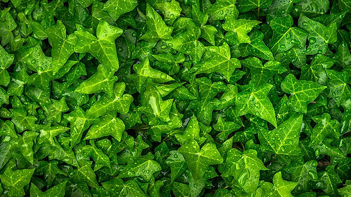 ivy_leaves_drops_122988_3840x2160.jpg