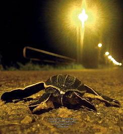 désorientation tortue marine pollution lumineuse