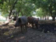 pastured pork natural gmo-free soy-free grass fed organic local arizona