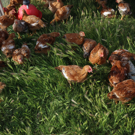 Why Choose Pastured Poultry?
