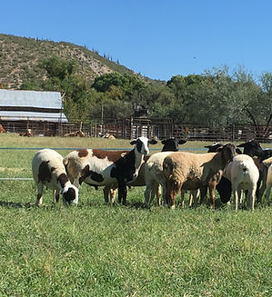 lamb grass fed animal welfare organic pastured pasture