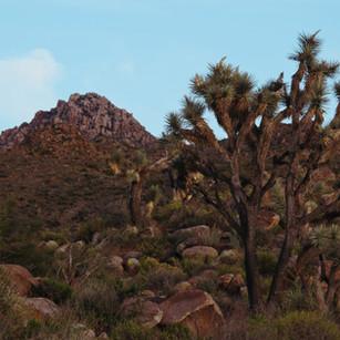 saguaro and joshua tree.jpg