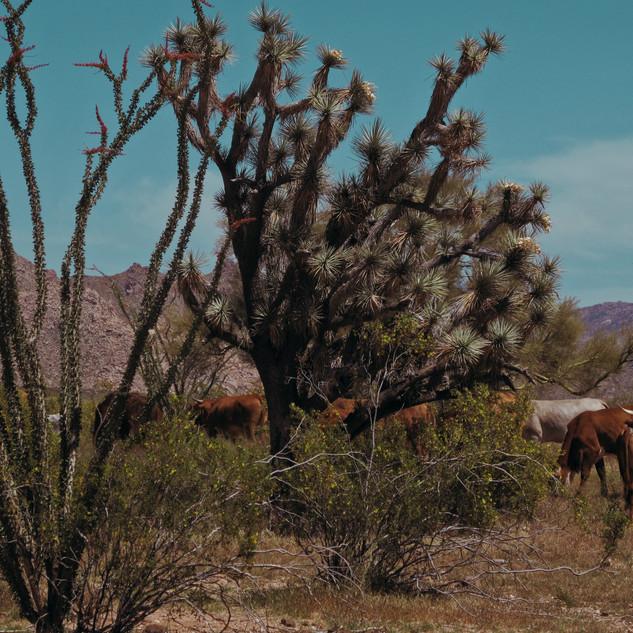 Ocoyillo and cows 2.jpg
