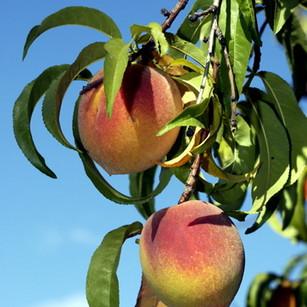 Date Creek peaches.jpg