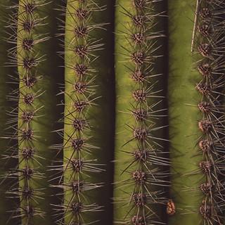 Saguaro spines.jpg