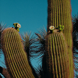 saguaro and bees.jpg