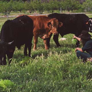 Savy and cattle on pasture.jpg