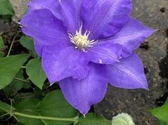 Clematis H.F. Young Bloom