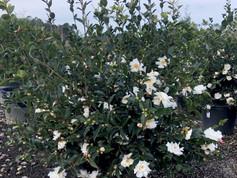Camellia Winter's Snowman 15 Gal.
