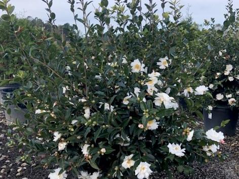 Camellia Winter's Snowman #15