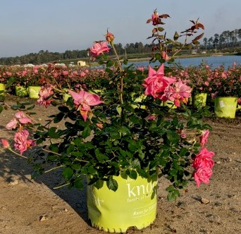 Rose Pink Double Knock Out