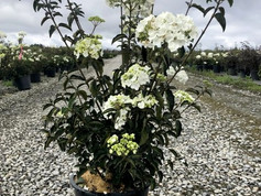 Viburnum mac. Sterile #7
