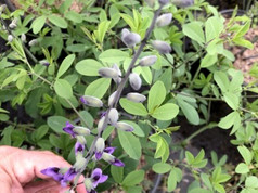 Baptisia Purple Smoke Bloom