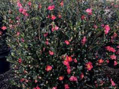 Camellia Yuletide 15 Gal.