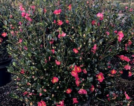 Camellia Yuletide #15