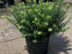 Cephalotaxus 'Duke Gardens' #7